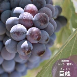 果樹 ブドウ 苗木 巨峰 きょほう 1年生 ぶどう 挿し木 4.5号 13.5cm ポット苗 落葉樹 つる性 hanamankai