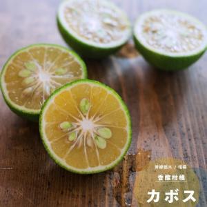 果樹 苗木 柑橘類 育てやすい カボス 1年生 接ぎ木 4.5号 13.5cm ポット苗 鉢植え 常緑樹 香酸柑橘|hanamankai