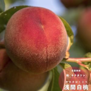 桃 果樹 苗木 花 モモ 浅間白桃 あさまはくとう 1年生 接木 4.5号 13.5cm ポット 春 落葉樹 もも 鉢植え プランター|hanamankai
