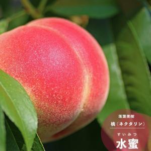 2017年新苗・果樹苗 モモ ( 桃 ) 水密  6号(18...