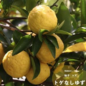 ゆず 柚子 果樹 苗木 とげなしユズ 1年生 接ぎ木 4.5号 直径13.5cm ポット 柑橘類 常緑樹 hanamankai