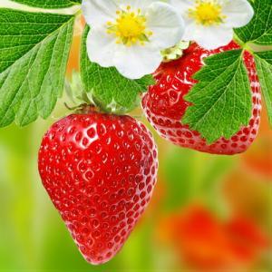 イチゴ 果実 苗 いちご アルビオン 苺 ポット苗1個 四季なり 春 夏 秋|hanamankai