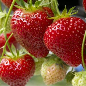 イチゴ 果実 苗 いちご おいCベリー 苺 ポット苗1個|hanamankai