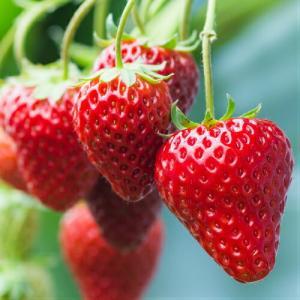 イチゴ 果実 苗 いちご 麗紅 れいこう 苺 ポット苗1個|hanamankai