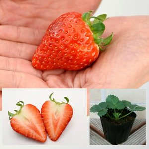 いちごよつぼし(よつぼしイチゴ) 苺 いち早く苗で登場です 1ポットイチゴ苗 新品種|hanamankai