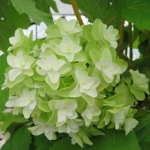 カシワバアジサイ 八重咲き (かしわ葉あじさい) 9cmポット苗 hanamankai