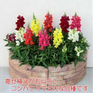 金魚草 花 苗 キンギョソウ キャンディートップス 四季咲き品種 5色から選べる2ポットセット 耐寒性・耐暑性に強くカラフルガーデンに! hanamankai