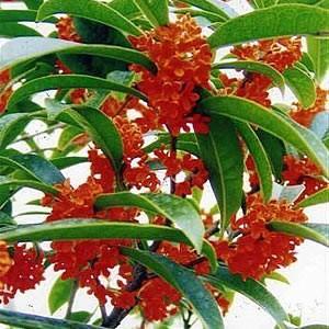 金木犀 花 苗木 庭 鉢植え アカバナキンモクセイ 1株 常緑小高木 10.5cmポット 赤花きんもくせい|hanamankai