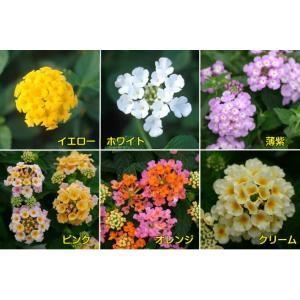 コバノランタナ 花 苗 全6色から選べます 1株 hanamankai