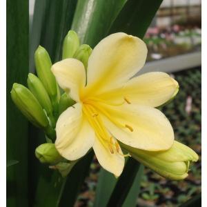 君子蘭 花 苗 クンシラン 黄色 春 多年草 5号 鉢植え 貴重 花芽付 観葉植物 hanamankai