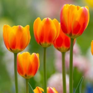チューリップ オレンジエンペラー 一重咲き プランター1杯分のチューリップ 全国送料無料 20球パック 秋植え 冬植え 球根 イングリッシュガーデン hanamankai
