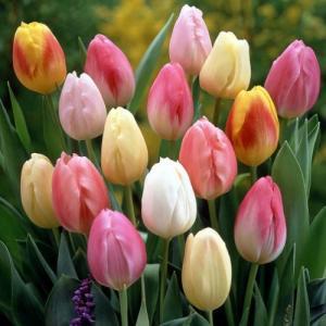 チューリップ 花 球根 パステルカラーコレクション 一重咲きプランター2杯分以上  5種各10球ミックス50球パック hanamankai
