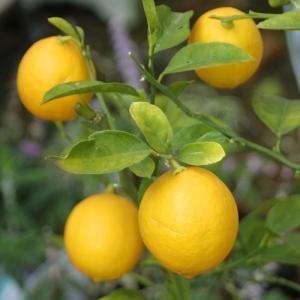 果樹苗 柑橘 レモン 苗木 レモンの木 サイパンレモン (グリーンレモン) 5号鉢 果樹苗木 柑橘類 常緑樹 hanamankai