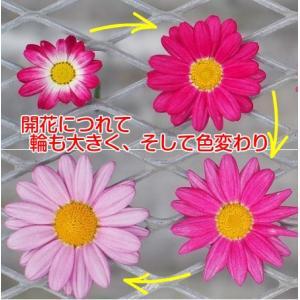 マーガレット 花 苗 鉢植え 色変わり バブルガムブラスト 1株 宿根草 栄養系|hanamankai