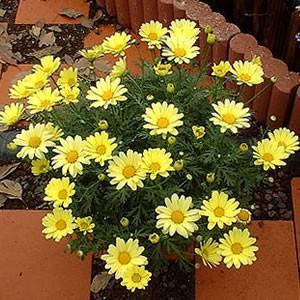 マーガレット 花 苗 春 バタフライ 黄色 1株 寄せ植え 宿根草 栄養系|hanamankai