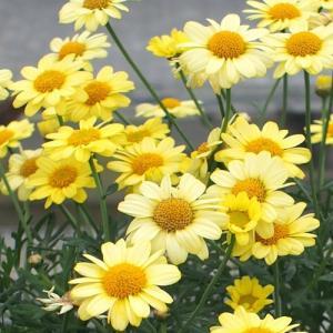 マーガレット 花 苗 春 鉢 寄せ植え コンパクトイエロー 1株 宿根草 栄養系 ガーデニング|hanamankai