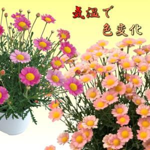 マーガレット 花 苗 梅ソーダ 開花時期で花色が変わります 1株 宿根草 栄養系|hanamankai