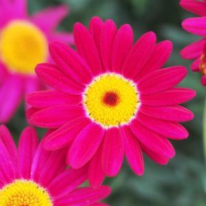 マーガレット 花 苗 春 鉢 寄せ植え マルスレッド 9cmポット 1株 宿根草 栄養系 ガーデニング ハンギング|hanamankai