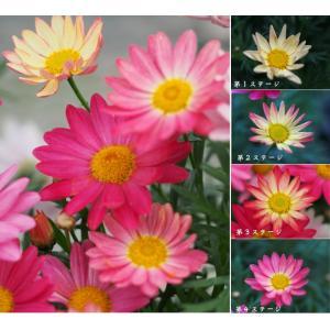 マーガレット 花 苗 鉢植え シンプリーコーラル 1株 宿根草 栄養系 色変わり 春の新色|hanamankai