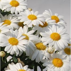 マーガレット 花 苗 四季咲き 鉢 地植えフォーシーズンズ ホワイト 1株 宿根草 栄養系|hanamankai