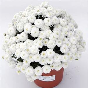 マーガレット 花 苗 八重咲き サマーソング ホワイト 9cmポット 1株 宿根草 栄養系 白|hanamankai