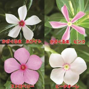 ビンカ (ニチニチソウ) ミニナツ シリーズ 4色から選んでくださいね 1株 夏中咲き続ける hanamankai