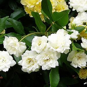 モッコウバラ 木香薔薇 ばら 花 ポット苗 白い シロモッコウバラ hanamankai