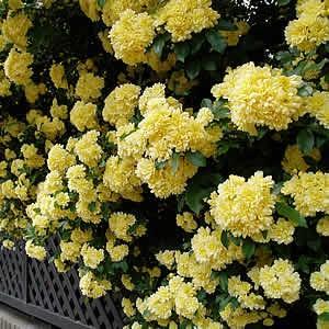 モッコウバラ 木香薔薇 ばら 花 ポット苗 黄色 1株|hanamankai