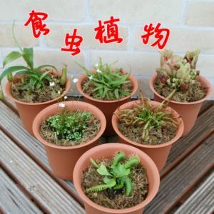 食虫植物 ハエトリソウ サラセニア モウセンゴケなど6種類から選べる 4号鉢(水苔処理)耐寒性 多年草|hanamankai