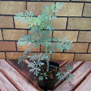 猫が嫌う猫よけにもなる草 ハーブルー(ヘンルーダ) 1株 猫よけ 害虫対策 観葉植物として|hanamankai