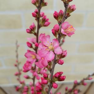 庭梅 6号鉢 鉢植えでお花見しますか。それとも地植えでシンボルにしますか|hanamankai