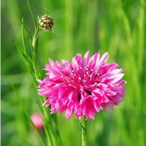 プレミアムシリーズ 耐寒性一年草 セントーレア 矢車草 シアヌス系 ピンク 10.5cmサイズポット苗|hanamankai