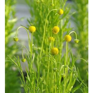 プレミアムシリーズ 半耐寒性一年草 セファロフォラ アロマティカ 10.5cmサイズポット苗|hanamankai
