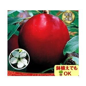 果樹 苗木 すもも 夏 プラム ジャンボ 大石 4.5号 直径13.5cm ポット 2年物 1株 日本スモモ 落葉樹|hanamankai