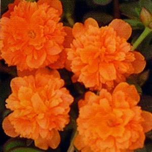 ポーチュラカ 花 苗  暖かオレンジ 2株 八重咲き 9cmポット 育て方の説明書付き hanamankai