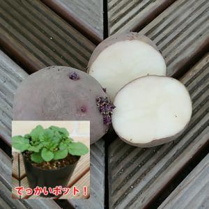 じゃがいも(ジャガイモ)の苗 紅あかり 安心の発芽済み 13.5cmポットのデッカイ苗 1株|hanamankai