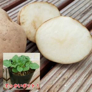 じゃがいも ジャガイモ ダンシャク 男爵いも 苗 1株 家庭菜園 安心の発芽済み13.5cmポットのデッカイ苗|hanamankai
