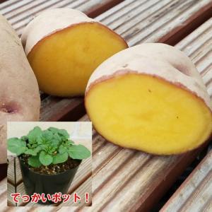 じゃがいも ジャガイモ インカルージュ 苗 1株 家庭菜園 安心の発芽済み13.5cmポットのデッカイ苗|hanamankai