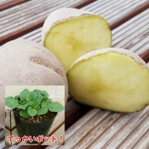 じゃがいも ジャガイモ キタアカリ 苗 1株 家庭菜園 安心の発芽済み13.5cmポットのデッカイ苗|hanamankai
