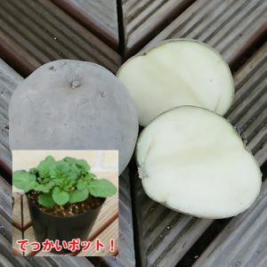 じゃがいも(ジャガイモ)の苗 きたかむい 安心の発芽済み 13.5cmポットのデッカイ苗 1株|hanamankai