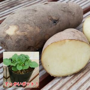 じゃがいも ジャガイモ メイクイーン 苗 1株 家庭菜園 安心の発芽済み13.5cmポットのデッカイ苗|hanamankai