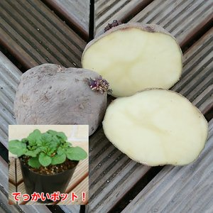 じゃがいも(ジャガイモ)の苗 さやあかね 安心の発芽済み 13.5cmポットのデッカイ苗 1株|hanamankai