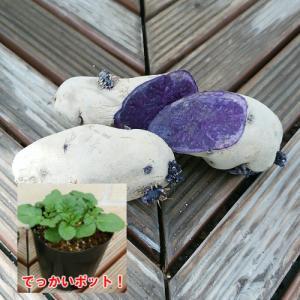 じゃがいも ジャガイモ の苗 シャドークイーン 安心発芽済み 1株 (12cmポット)|hanamankai