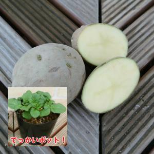 じゃがいも(ジャガイモ)の苗 十勝こがね 安心の発芽済み 13.5cmポットのデッカイ苗 1株|hanamankai