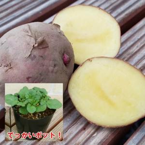 じゃがいも ジャガイモ アンデスレッド 苗 1株 家庭菜園 安心の発芽済み13.5cmポットのデッカイ苗|hanamankai