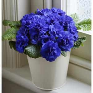 プリムラ ベラリナ・コバルトブルー 1株 パーフェクトな八重咲き