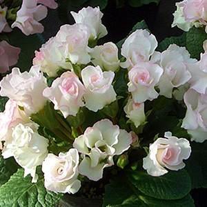 プリムラ ジュリアン ブライダルベル 冬の花 バラ咲き1株 冬咲き 鉢植え 庭植えガーデニング 寄せ植え