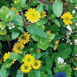サンビタリア スタービーニ 花 苗 夏 ポット 1株 寄せ植え 多年草 グラウンドカバー hanamankai
