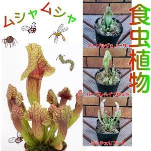 食虫植物 観葉植物 サラセニア 3種 各1ポット 意外と簡単な観葉植物の1種なのです 3種から選んでください hanamankai
