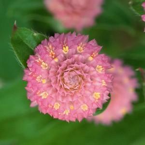 ちょっと珍しい花にアクセントのある矮性千日紅。 矮性タイプなので鉢でも地植えでもこんもりと仕上がりま...